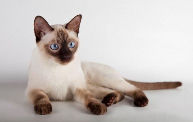 Гладкошерстная кошка