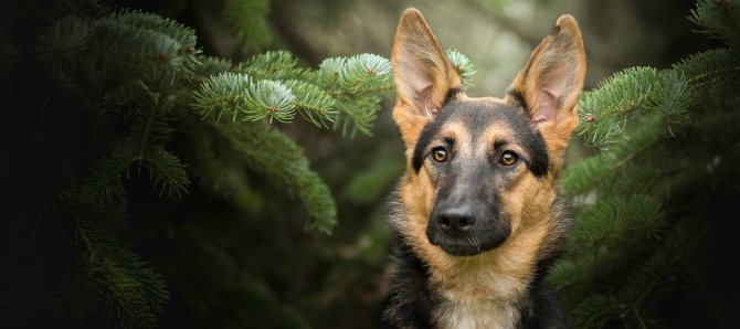 Главные правила для увеличения продолжительность жизни Немецкой овчарки: сколько лет живут собаки?