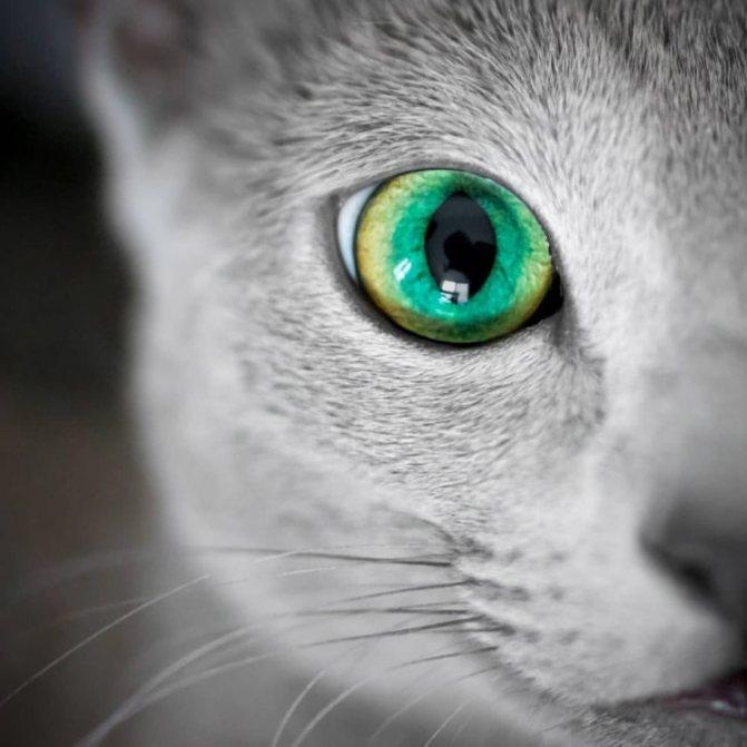 Глаза русской голубой кошки.