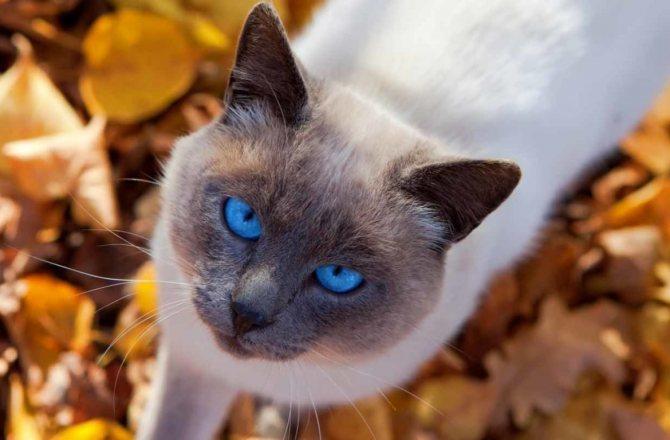 Глаза тайской кошки