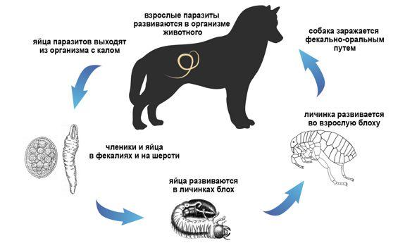 глисты у собаки, жизненный цикл