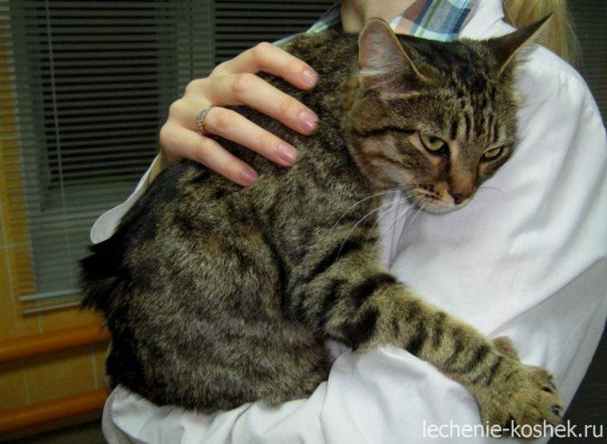 гломерулонефрит у кошек