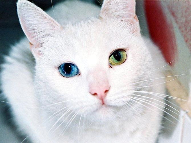глухота белых кошек