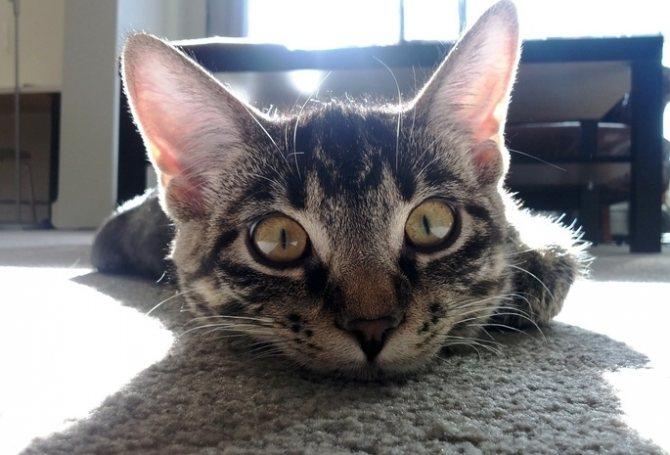 гной из ушей у кошек