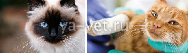гнойные раны у кошек лечение