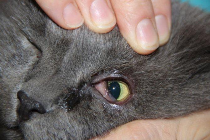 Гнойные выделения из глаз у кошки