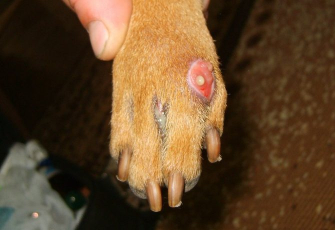 Гнойный абсцесс на лапе собаки