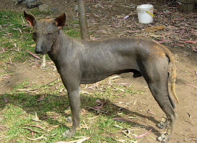 Голая собака инков гуляет
