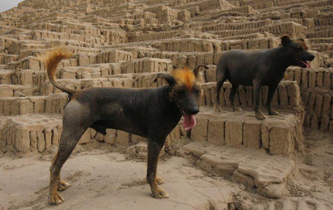 Голые собаки инков