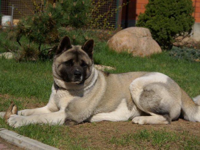 Гордый и верный пёс