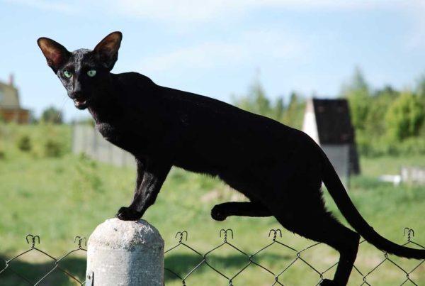 Грациозная чёрная ориентальная кошка