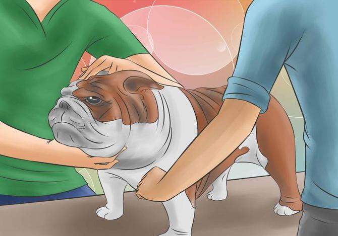 градусник для собак
