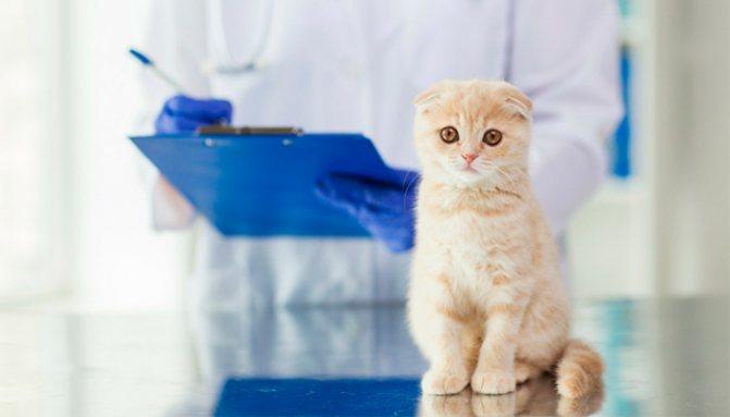График вакцинации шотландских вислоухих котят