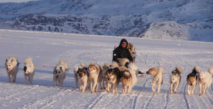 гренландская ездовая собака