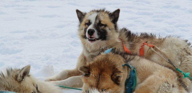 Гренландская собака – одна из самых древних ездовых пород