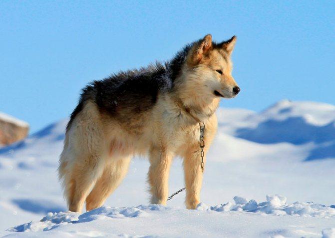 гренландская собака порода