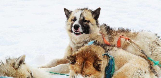 Гренландская собака - родом из дикого Севера