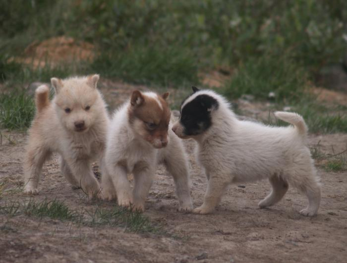гренландская собака щенки