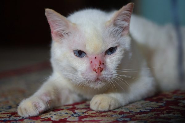 Грибковые заболевания у кошек