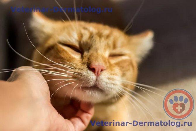Грибок у кошек: симптомы и лечение в домашних условиях, на коже, ушах, лапах, носу и подбородке