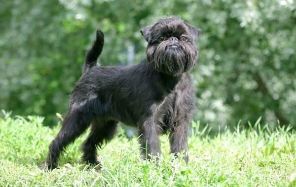 Грифон-собака-Описание-особенности-виды-уход-и-содержание-породы-грифон-13