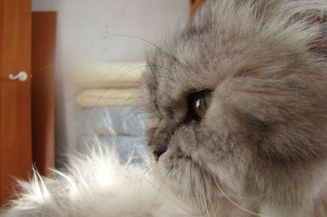Грустный пушистый кот