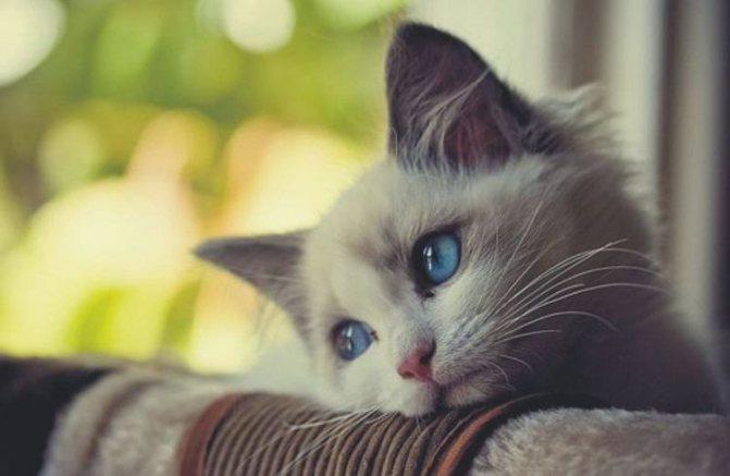Грустным котенок с голубыми глазами