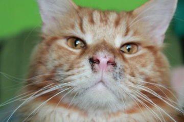 грязный нос у кошки