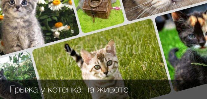 Грыжа на животе у кошки: причины, лечение, профилактика