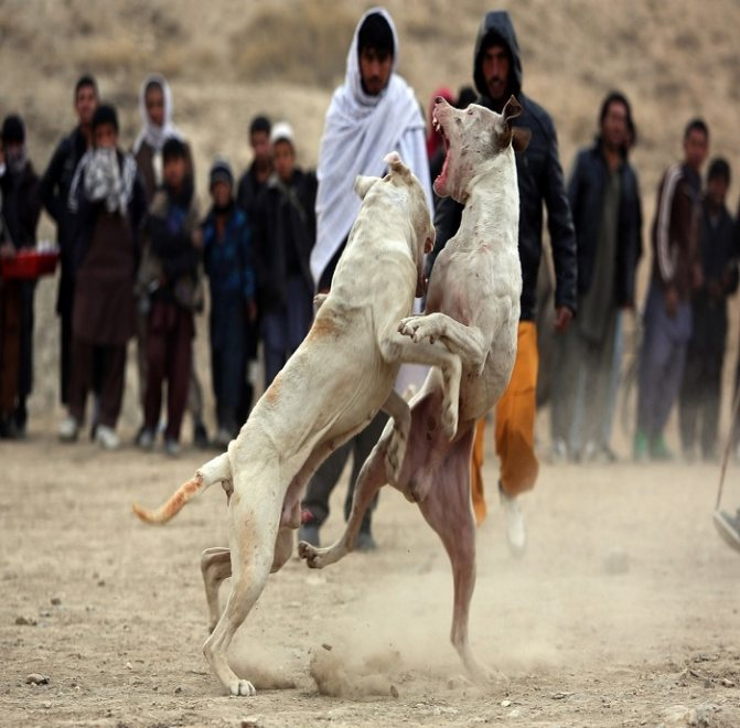 Гуль донг: фото, описание породы собак, характер