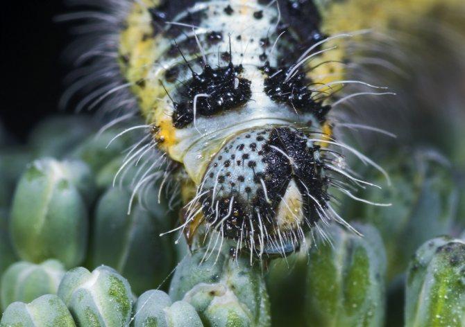 Гусеница капустницы.jpg