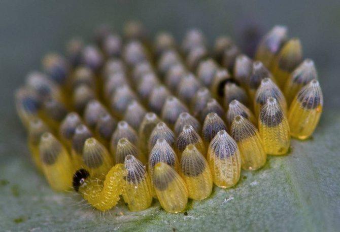 Гусеница появляется из яйца.jpg