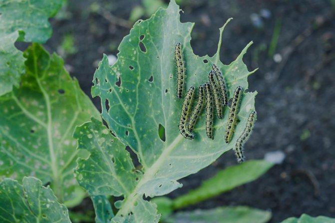 Гусеницы капустной белянки на листе
