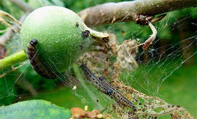Гусеницы яблонной моли.jpg