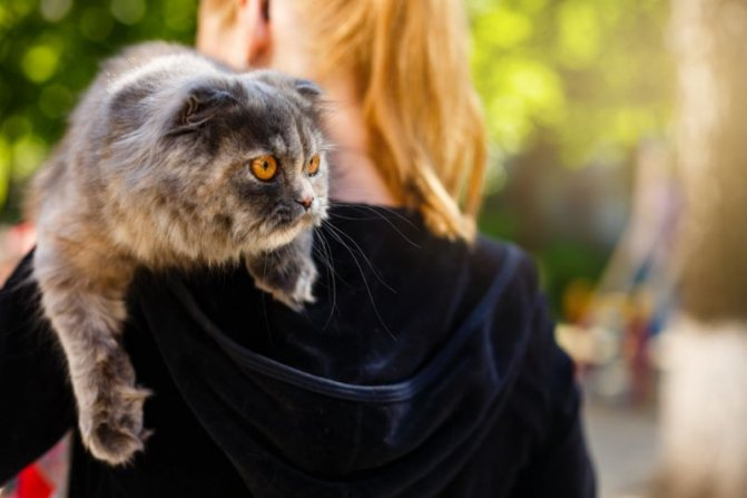 хайленд фолд котята