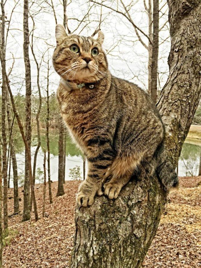Хайлендер порода кошек