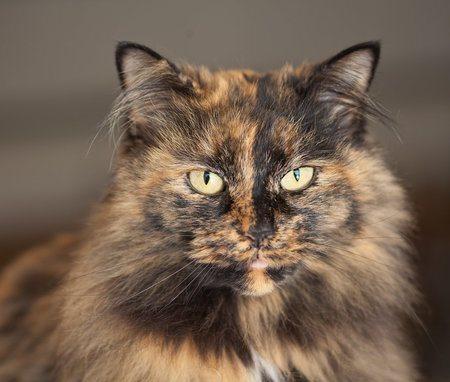 Характер черепаховой кошки