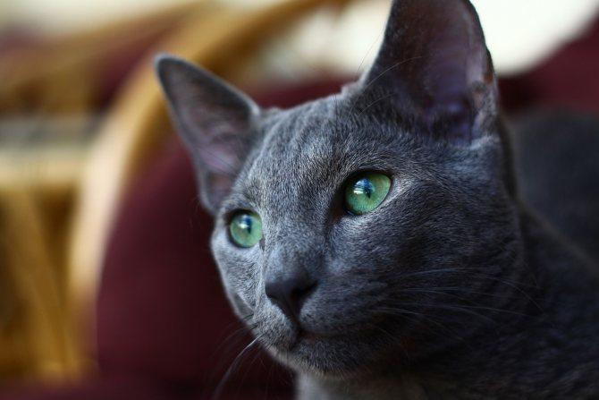 Характер русской голубой кошки