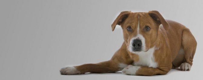 характер собаки австрийский пинчер