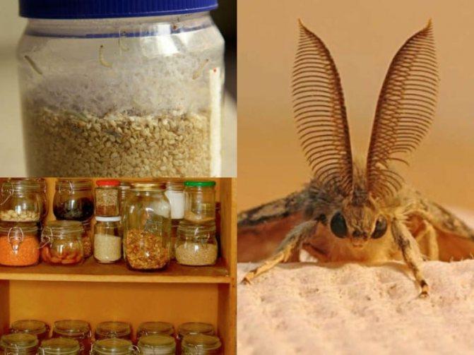 характерные особенности пищевой моли
