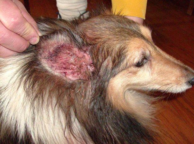 Характерным признаком поражения собаки грибком малассезия является отит