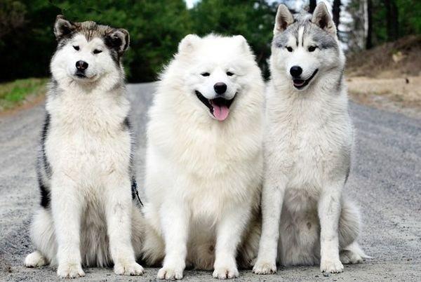 Хаски – это северная порода собак