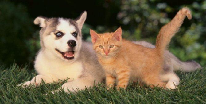 хаски и коты