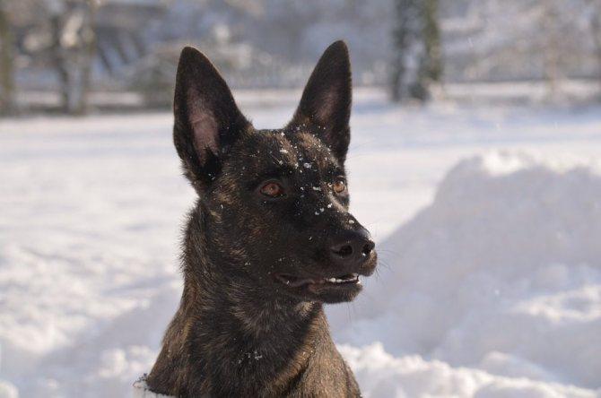 Хердер на снегу