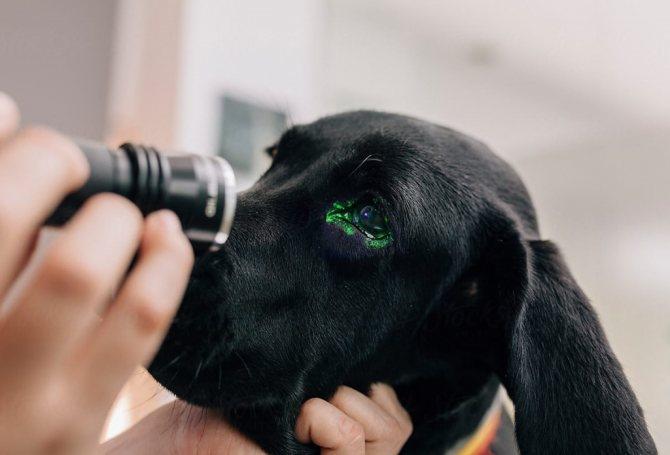 хирургическое вмешательство при мутных глазах у собаки