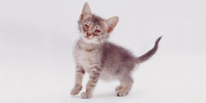 Хламидии у кошек симптомы