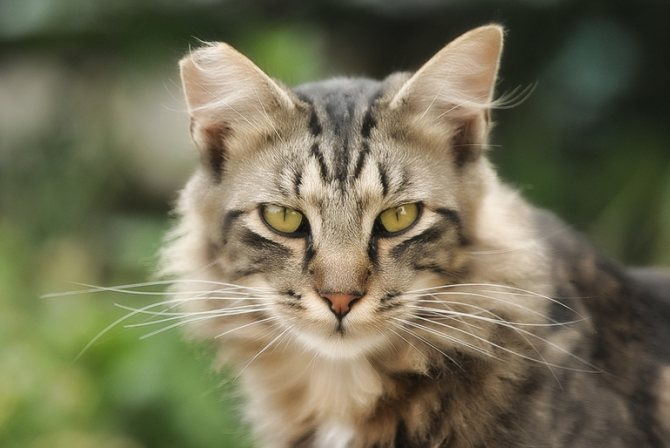 Хламидиоз у кошек причины заражения