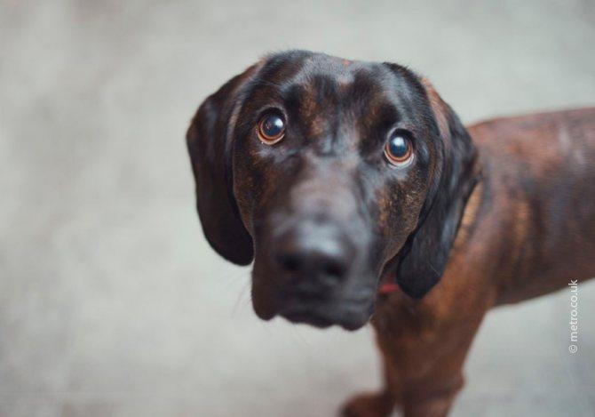 Хламидиоз у собак – опасное заболевание