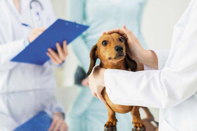 Холецистит у собаки диета