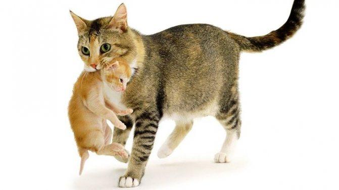 Холка у кошек и котов: где находится